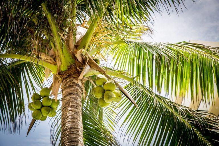 Kokosnusspalme