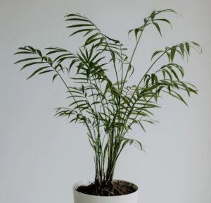 Bambuspalme im Topf