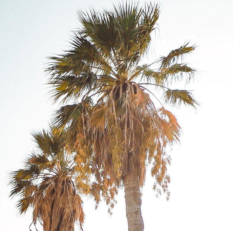 Cocumbe-Palme