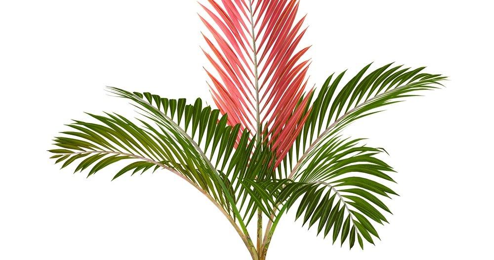 Rotblattpalme