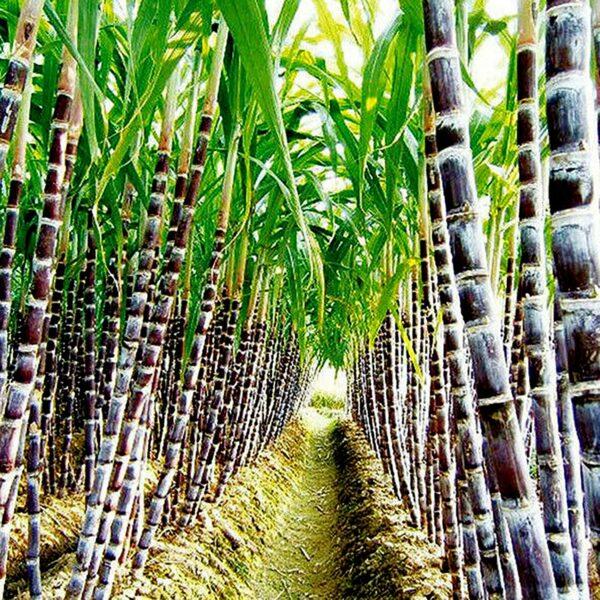 Benoon Zuckerrohrsamen, 100 Stück/Beutel