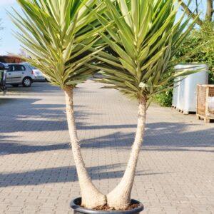 Yucca (Jewel) Riesen-Palmlilie verzweigt