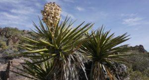 Yucca Madrensis