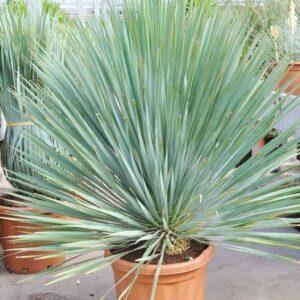 Yucca (Palmlilie) Freilandware Sonderpreis