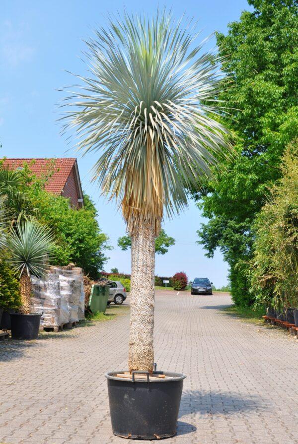 Yucca rostrata (Palmlilie) 180 Stamm